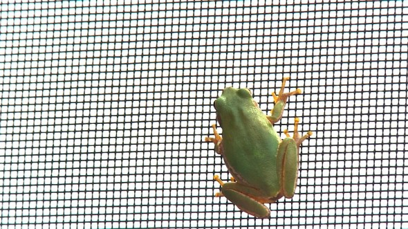 Frog on screen door