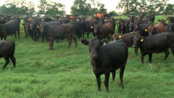 White Oak Pastures Cattle